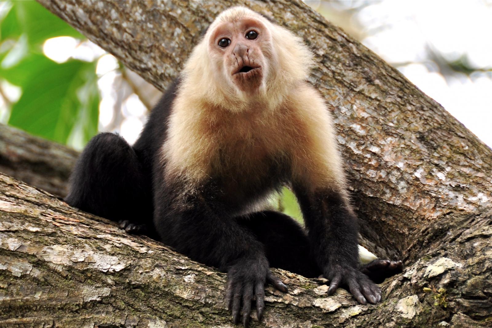 capuchin monkey stone tools