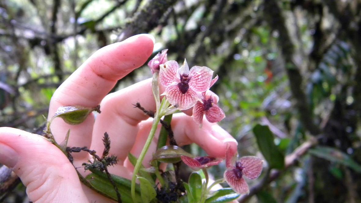 orchid Telipogon diabolicus