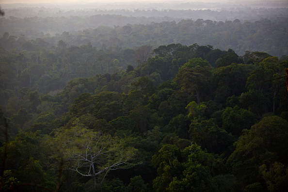 Amazonian forest trees