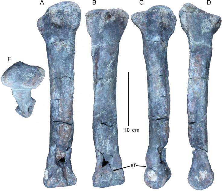 Gualichoshinyae t-rex arms