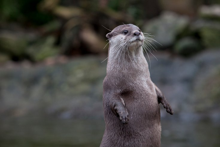 Otters illegal trade