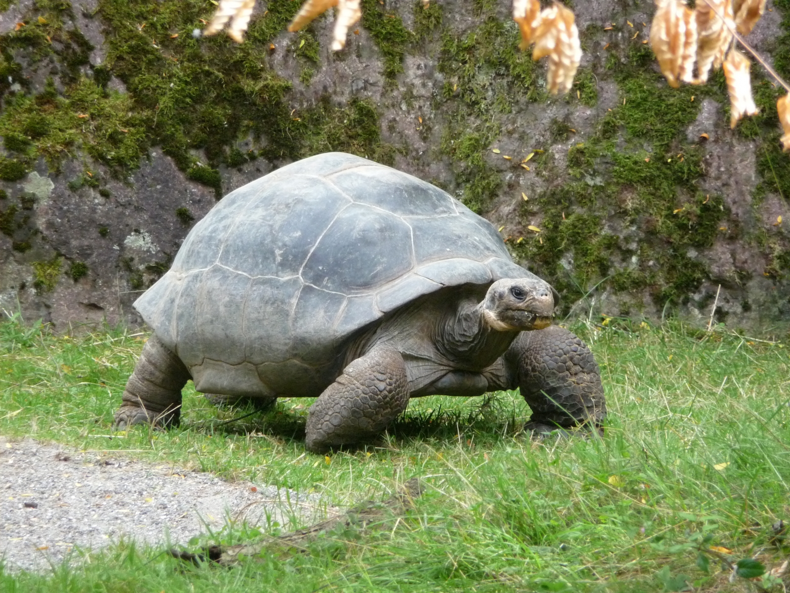 turtle shell development