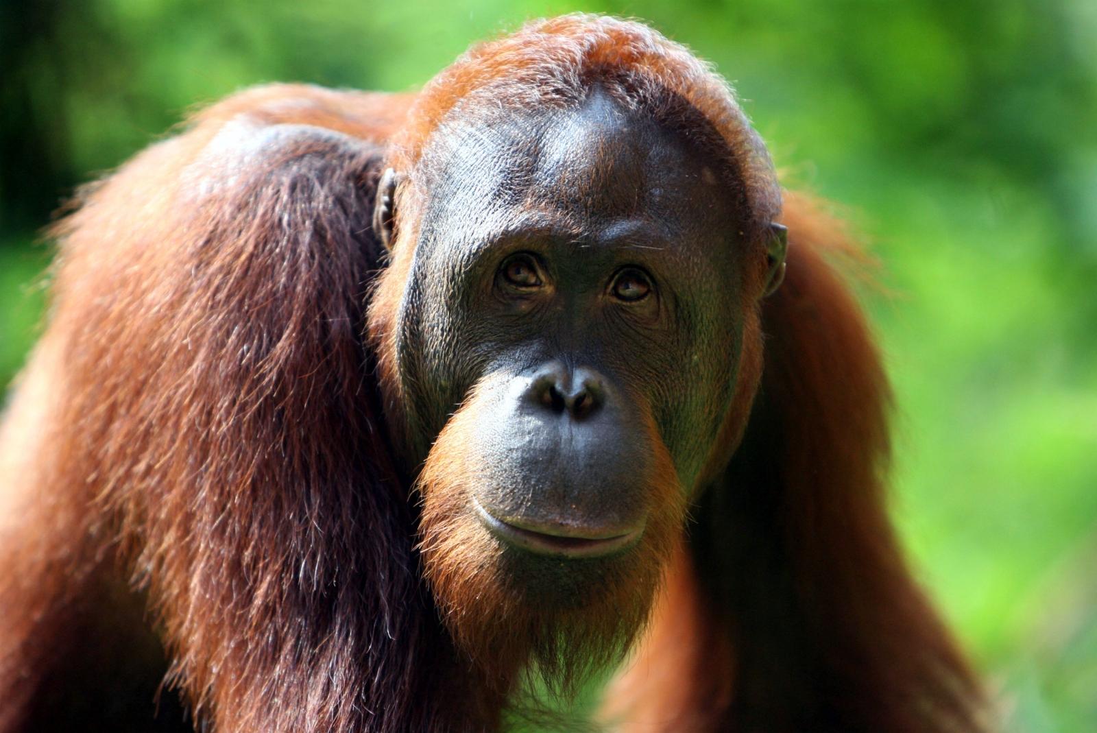 Zoos Victoria orangutan to get video games
