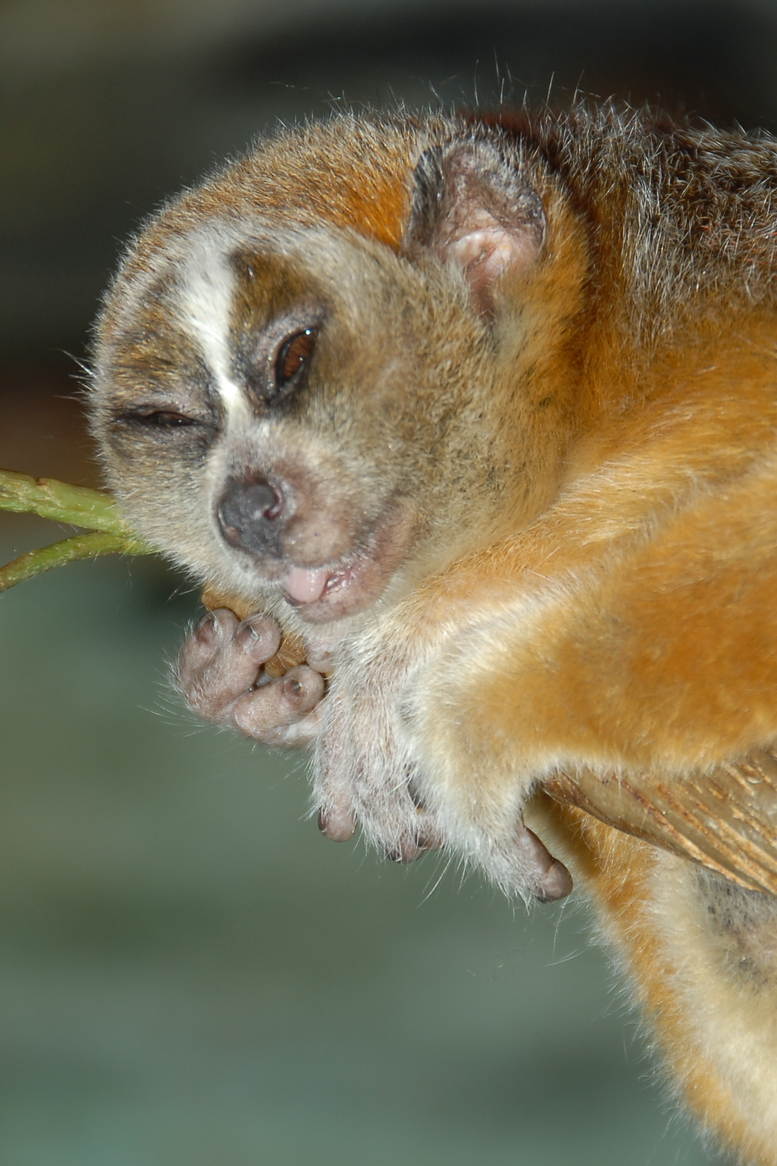 slow loris likes alcohol