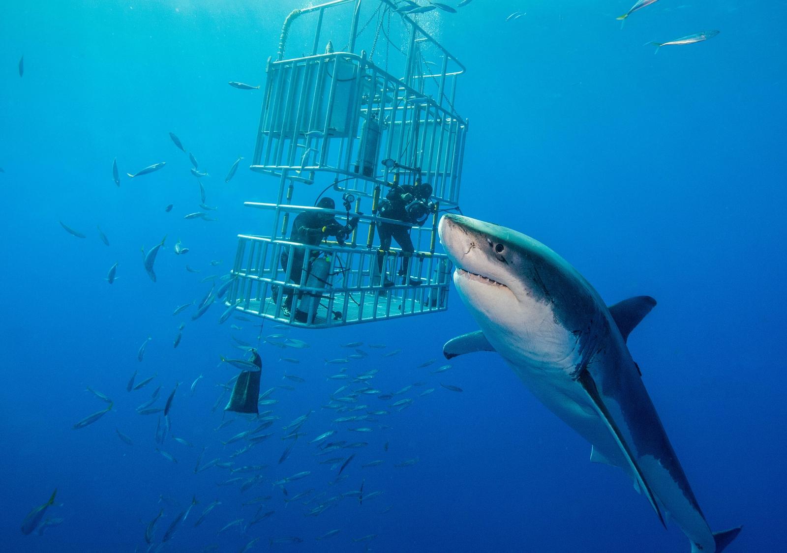 monster great white shark