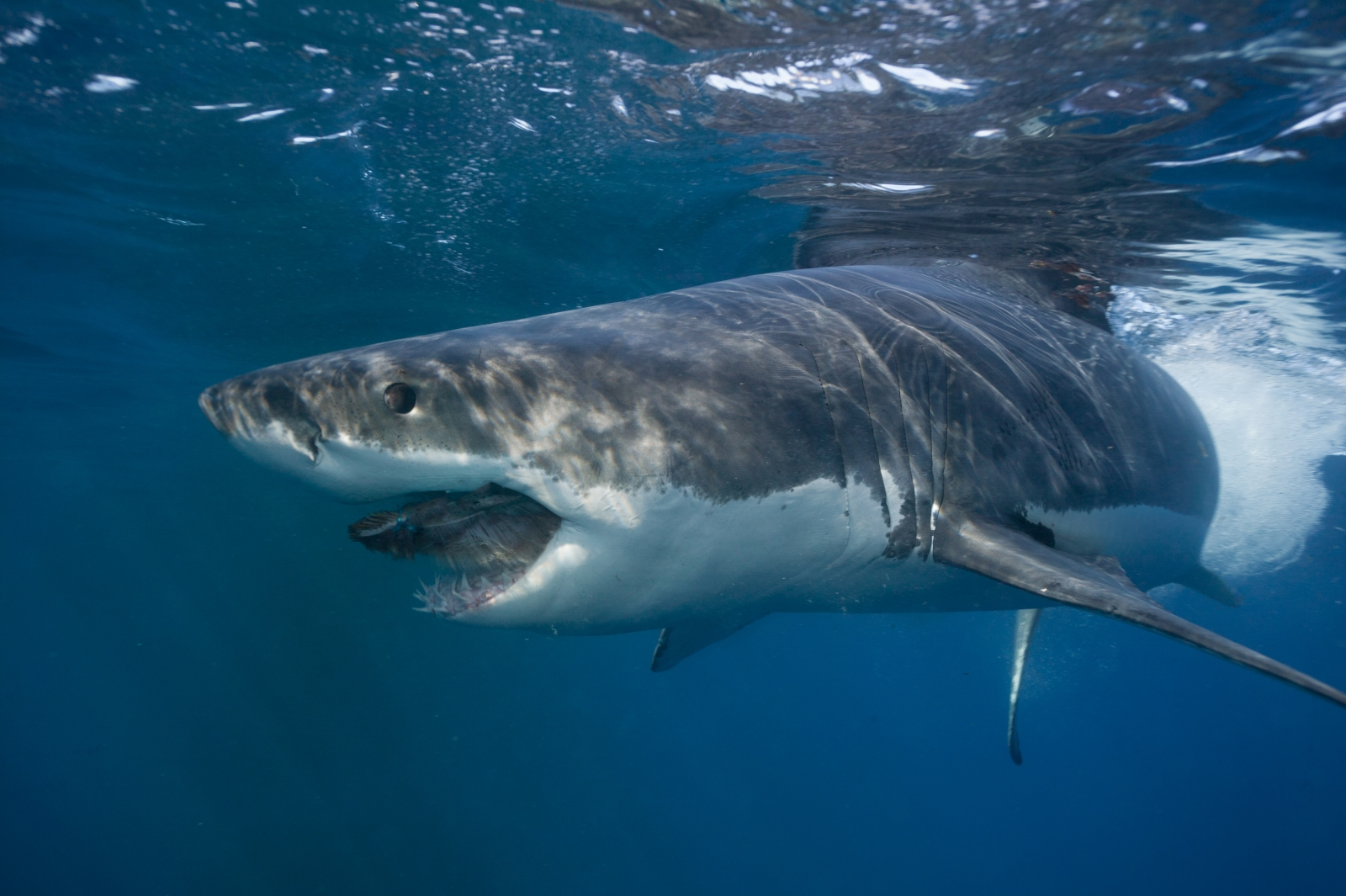 GREAT WHITE SHARK EXPEDITION