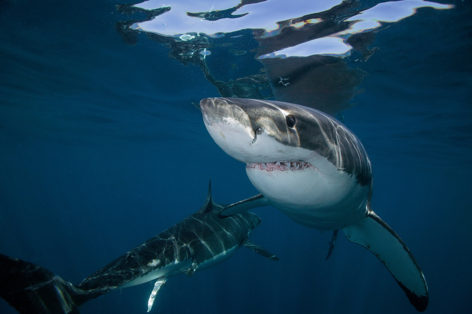Biggest great white shark ever? Pictures show monster ...