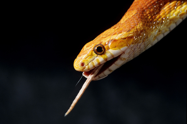Corn snake pet
