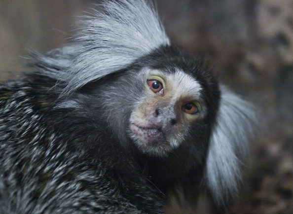 marmoset exotic pet