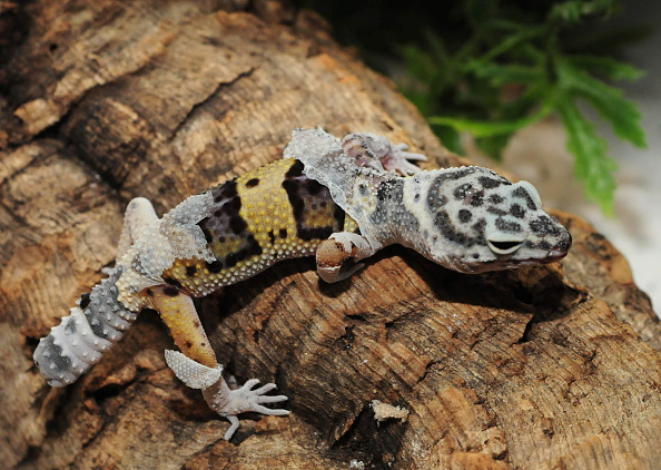 gecko exotic pet
