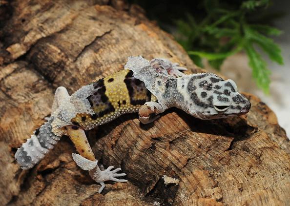 gecko exotic pet