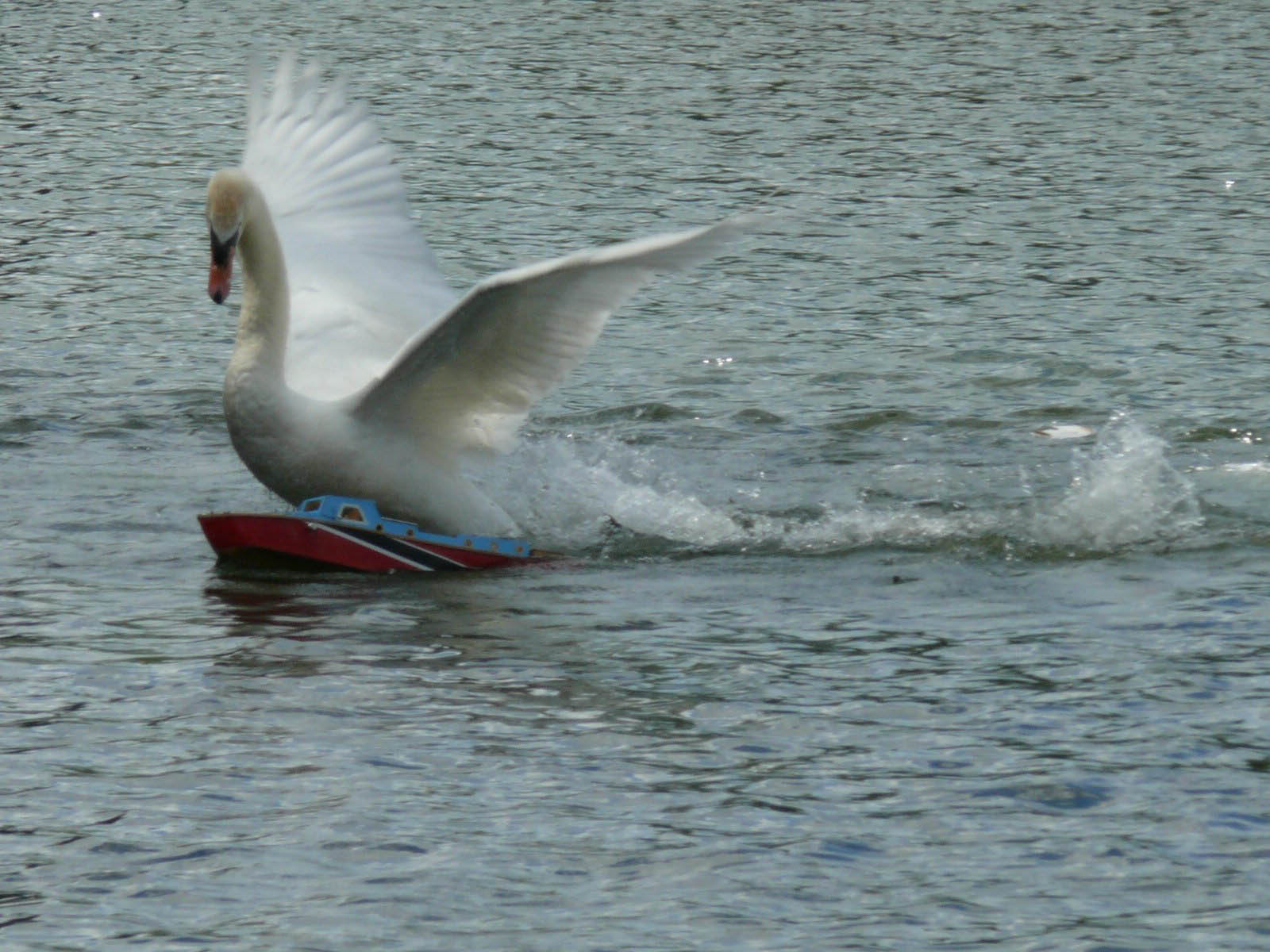 Swan attacks model boat