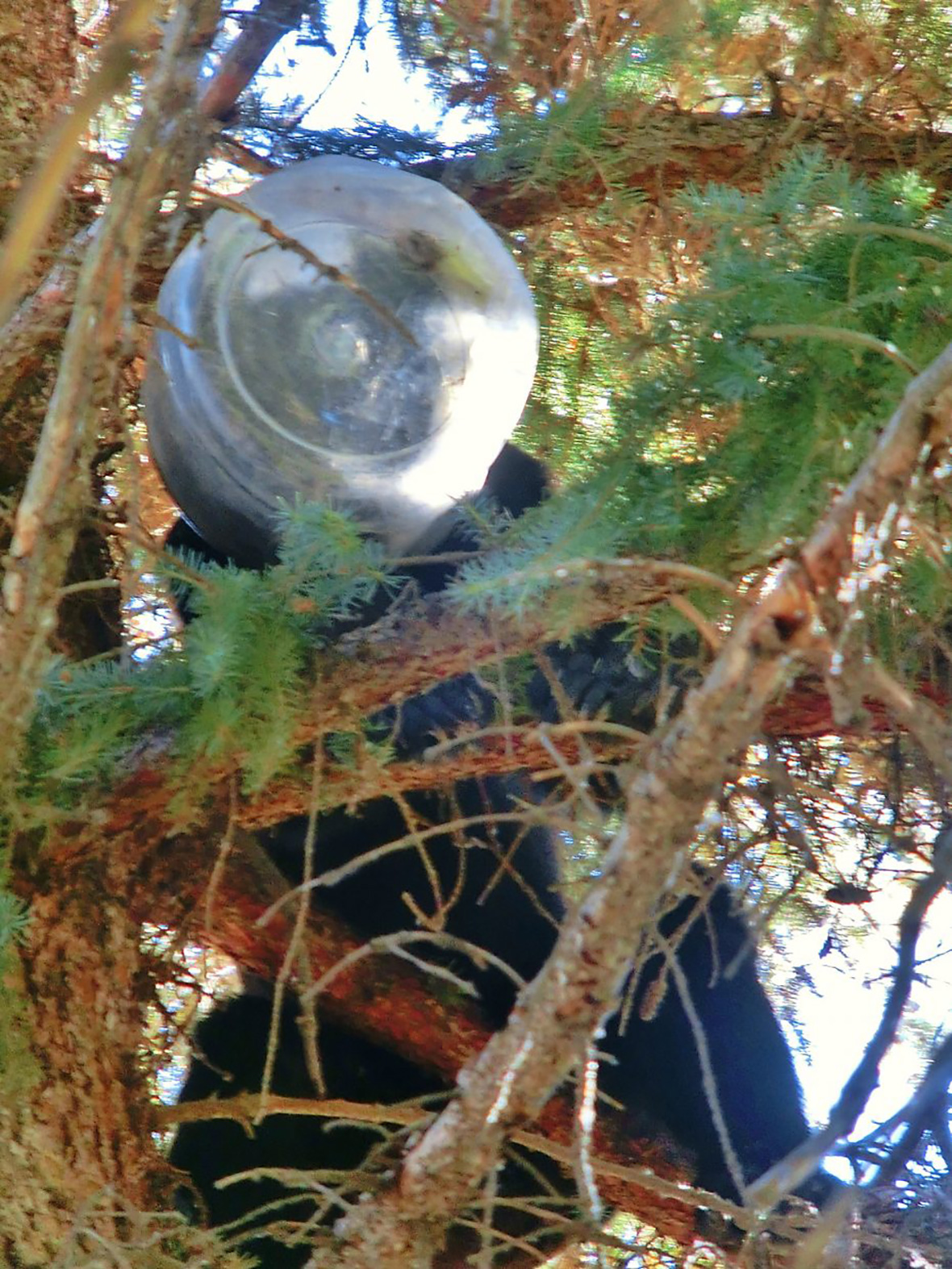 Bear cheeseballs jar