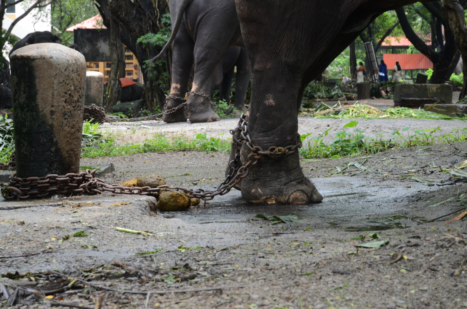 An elephant chained by the leg