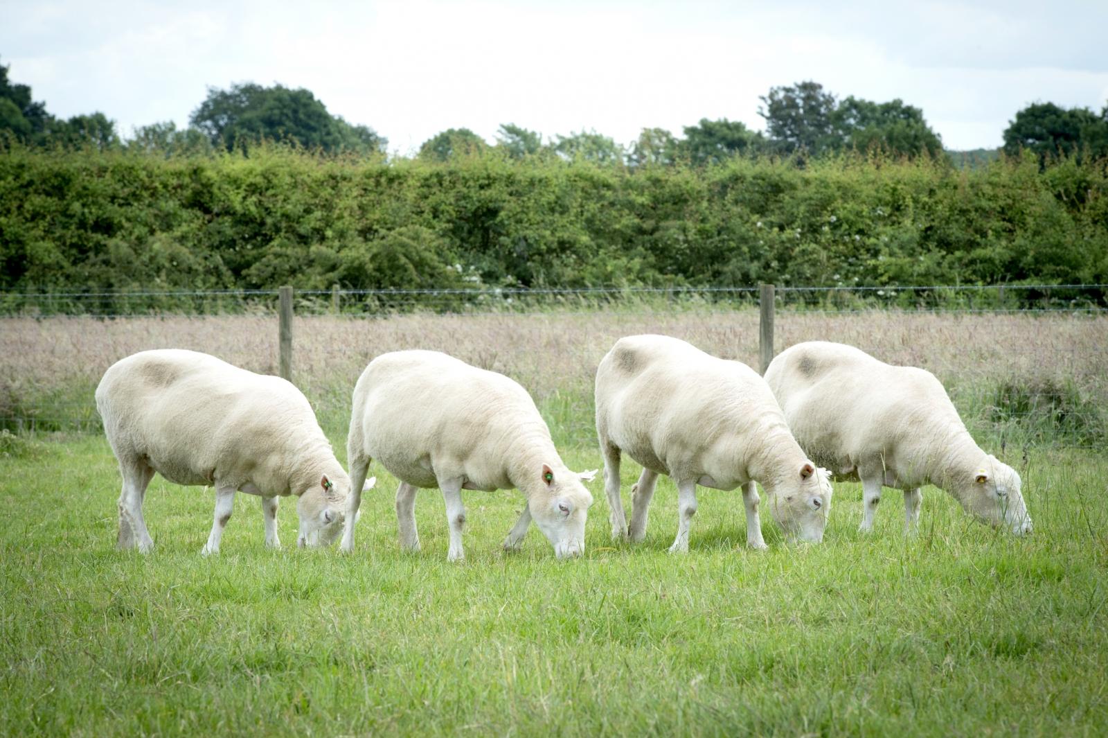 sheep cloning ageing