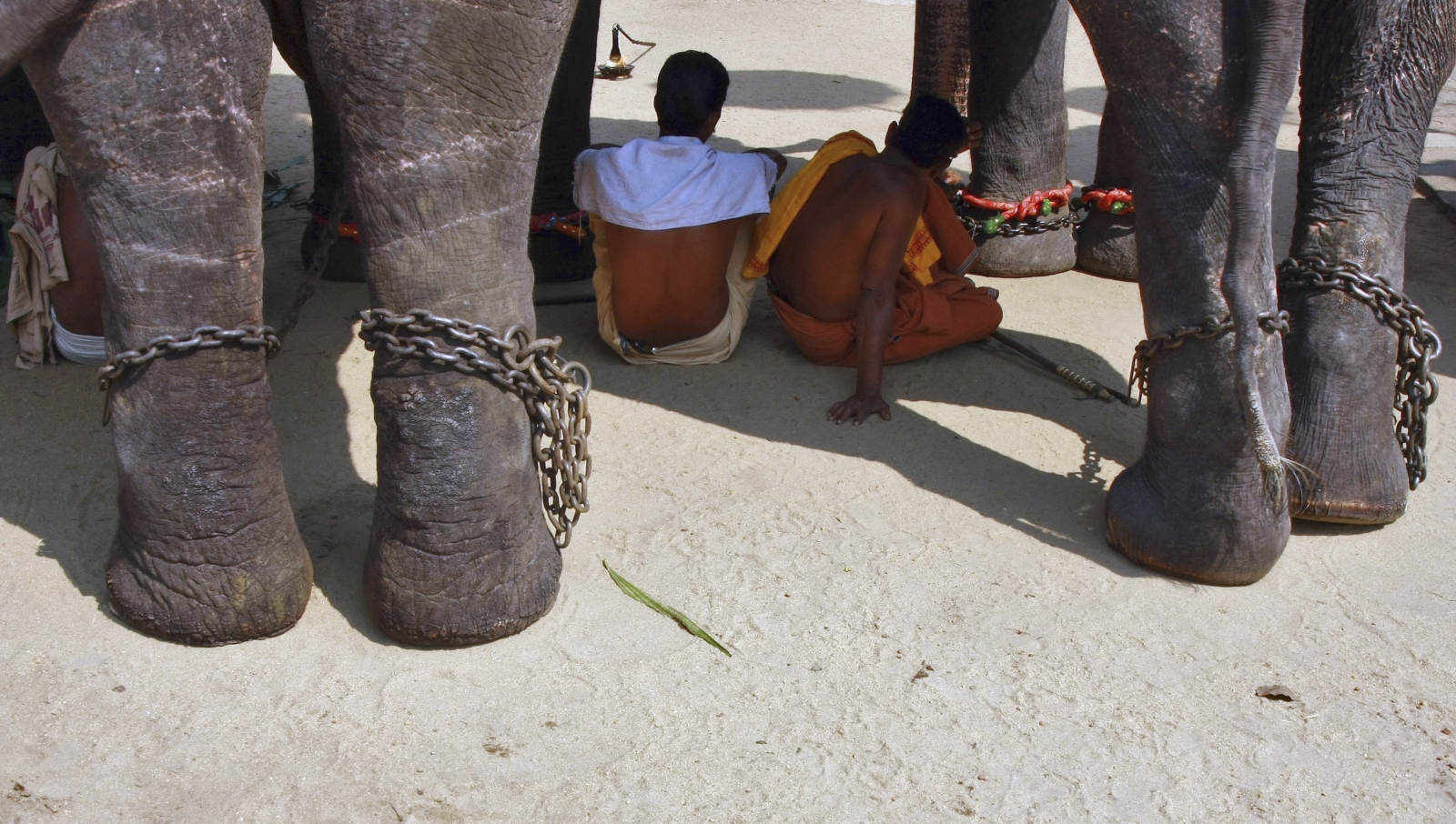 Elephant in chains with mahouts