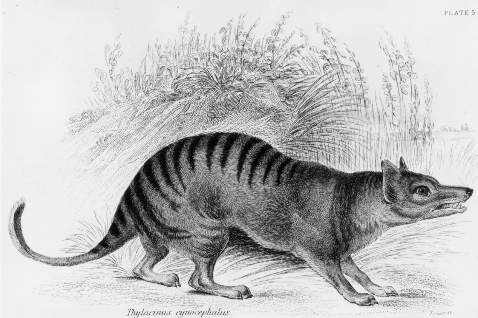 Tasmanian tiger Australia