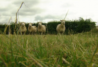 Dolly the sheep's legacy lives on as four clones reach age of nine