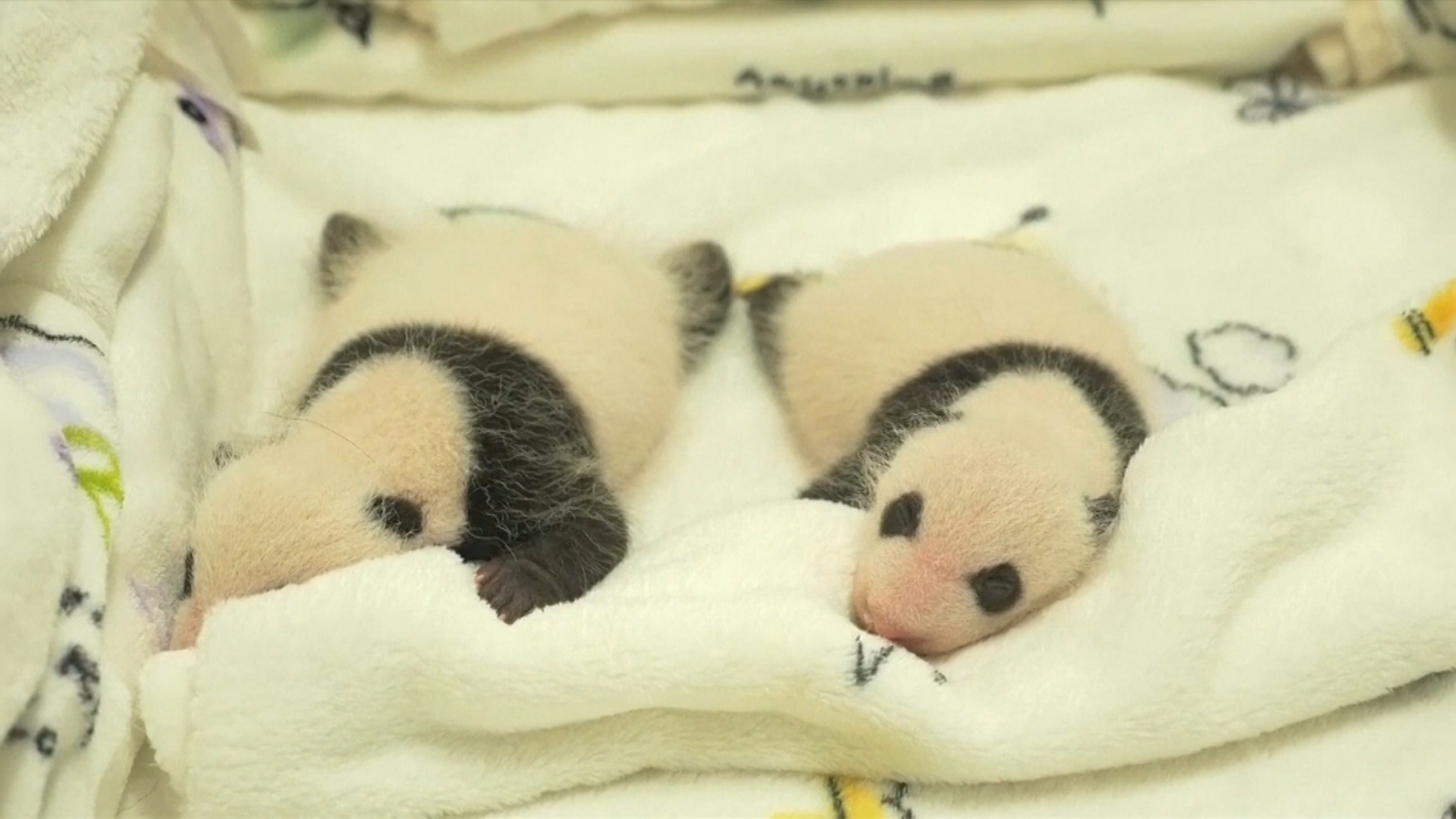 Pandas receive first visitors