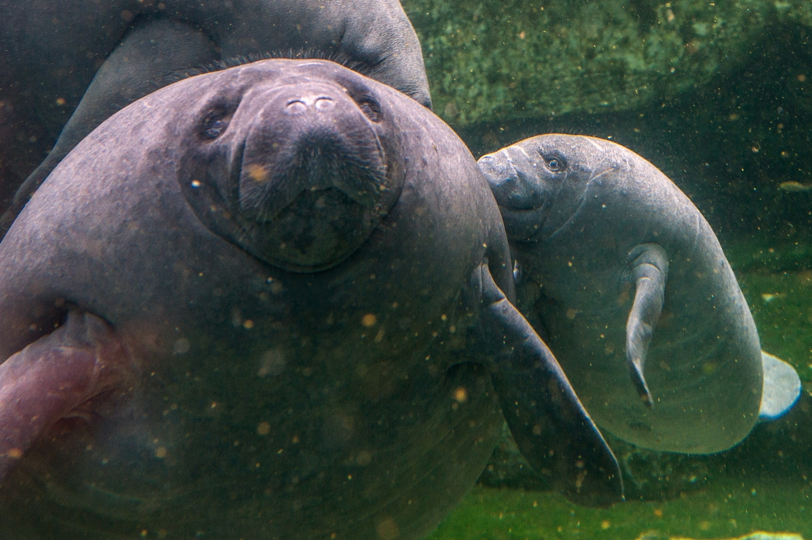 Manatees in France