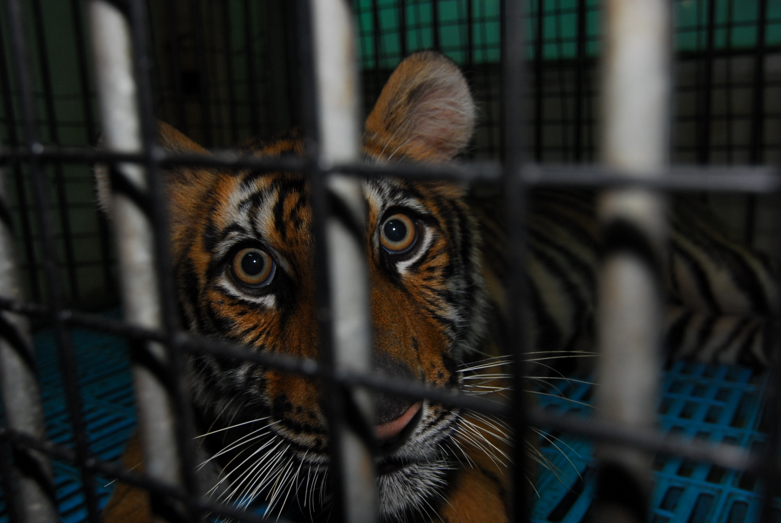 A caged tiger in Thailand