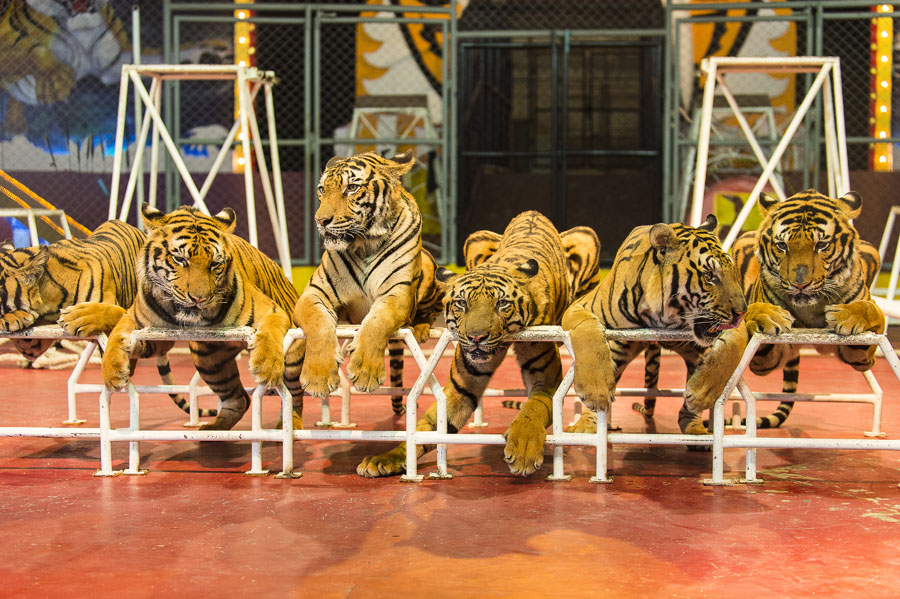 Tigers in a circus ring in Thailand