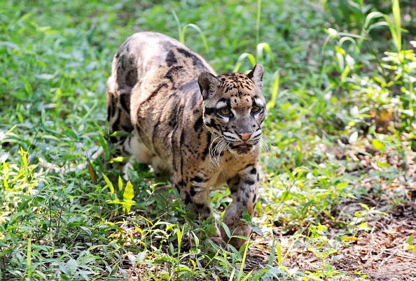 clouded leopard carnivore