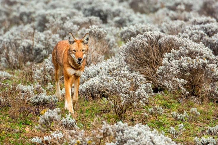 carnivore ethiopian wolf
