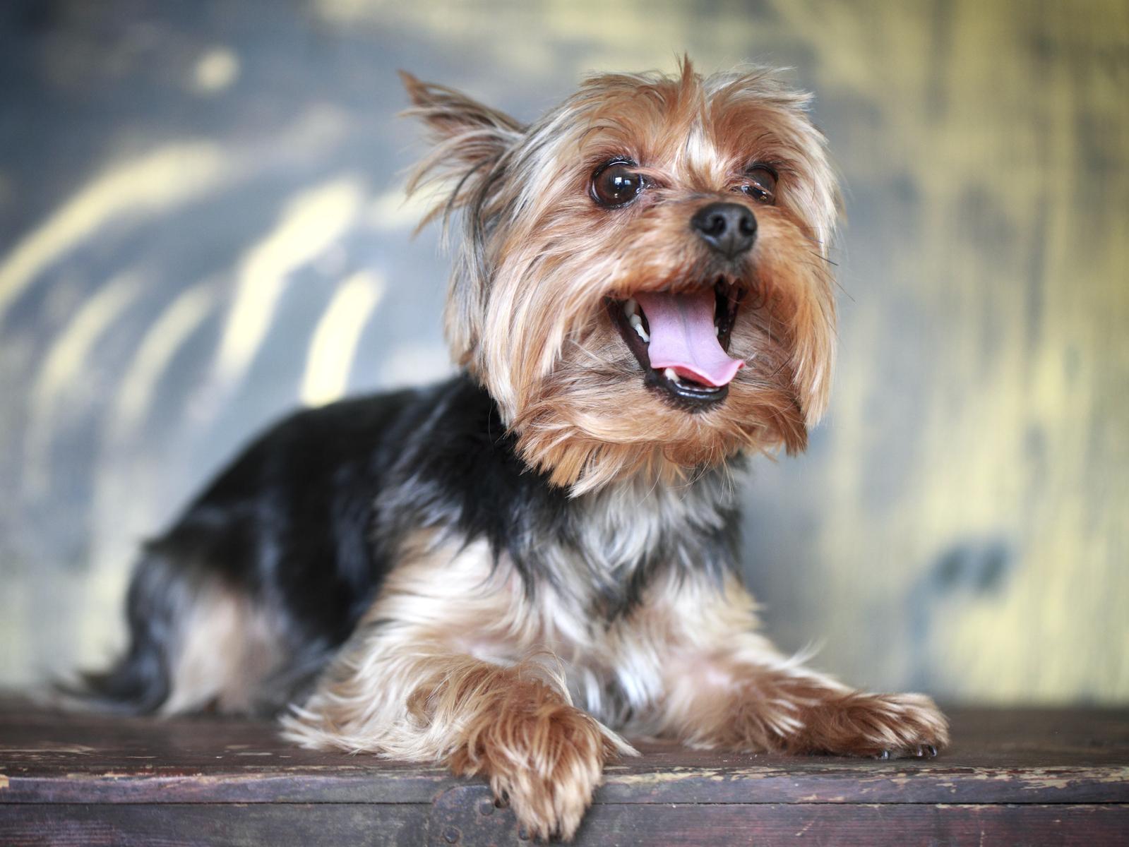 Happy yorkshire terrier