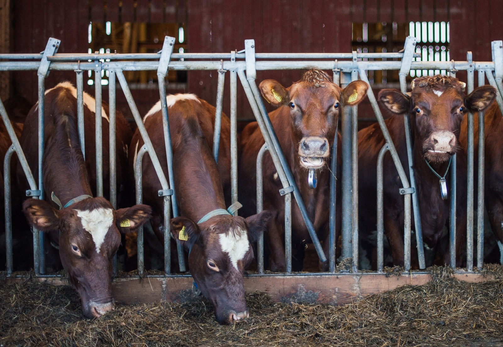Cows feed at Swedish dairy farm