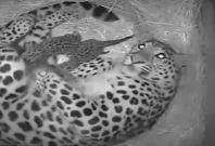 Amur Leopards born