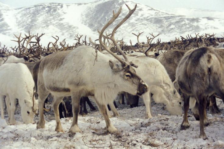 Siberia reindeer Anthrax