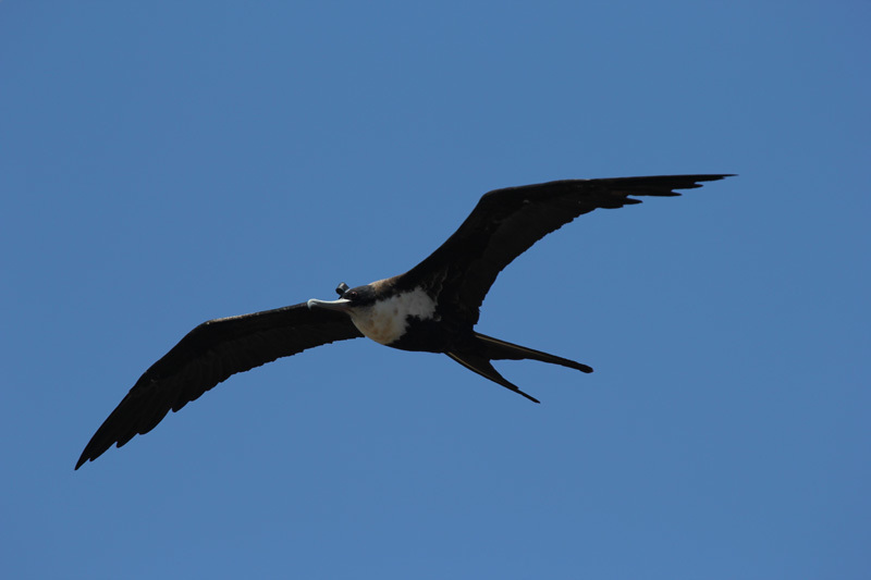 frigatebirds sleep while flying