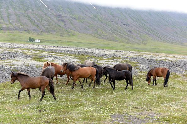Gaited horses iceland