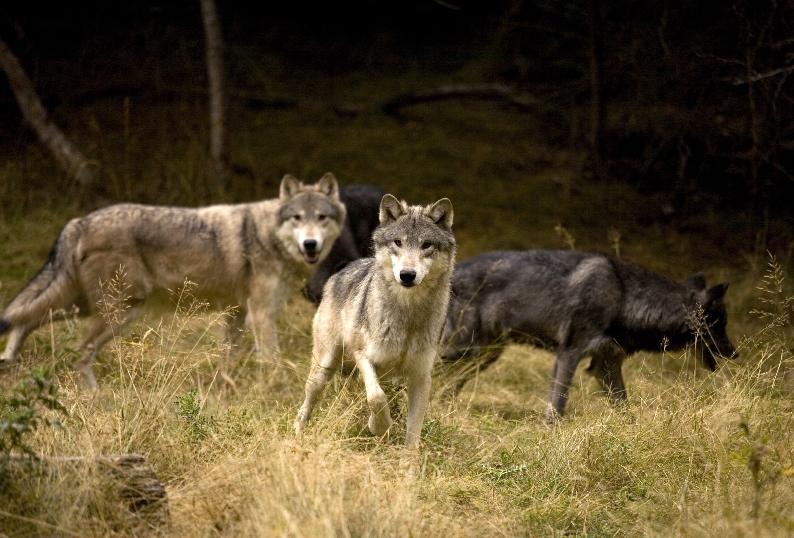 Wolves in Alaska's Denali National Park