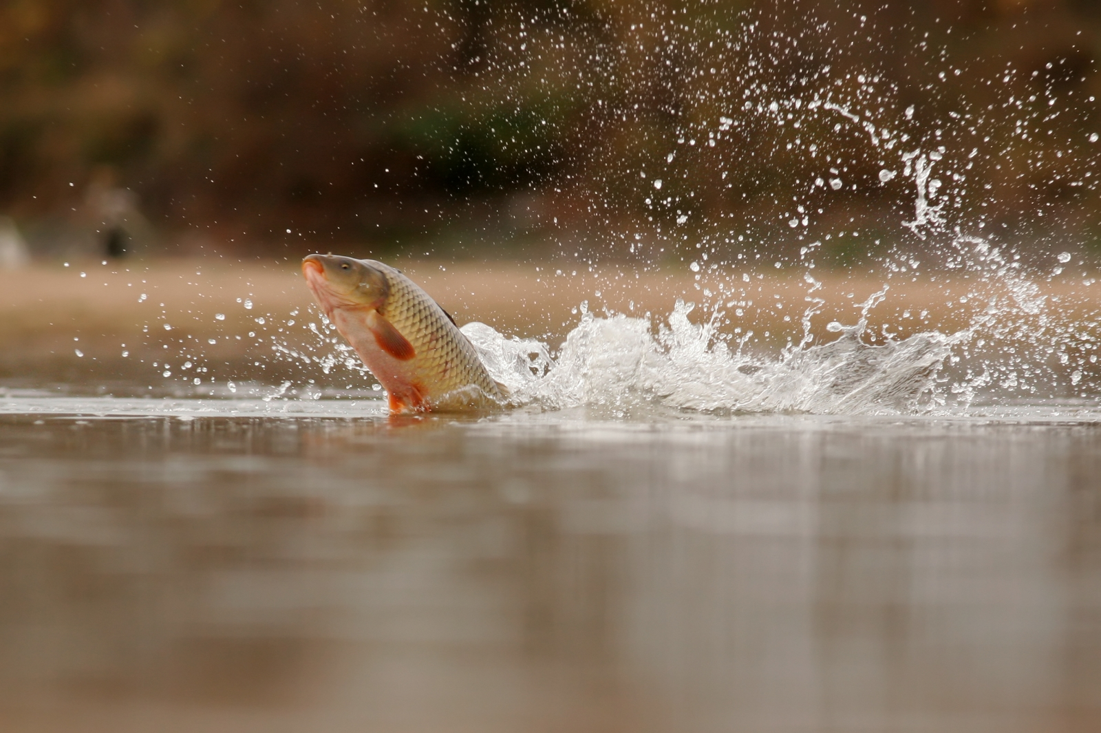 Common carp leaping out of the water