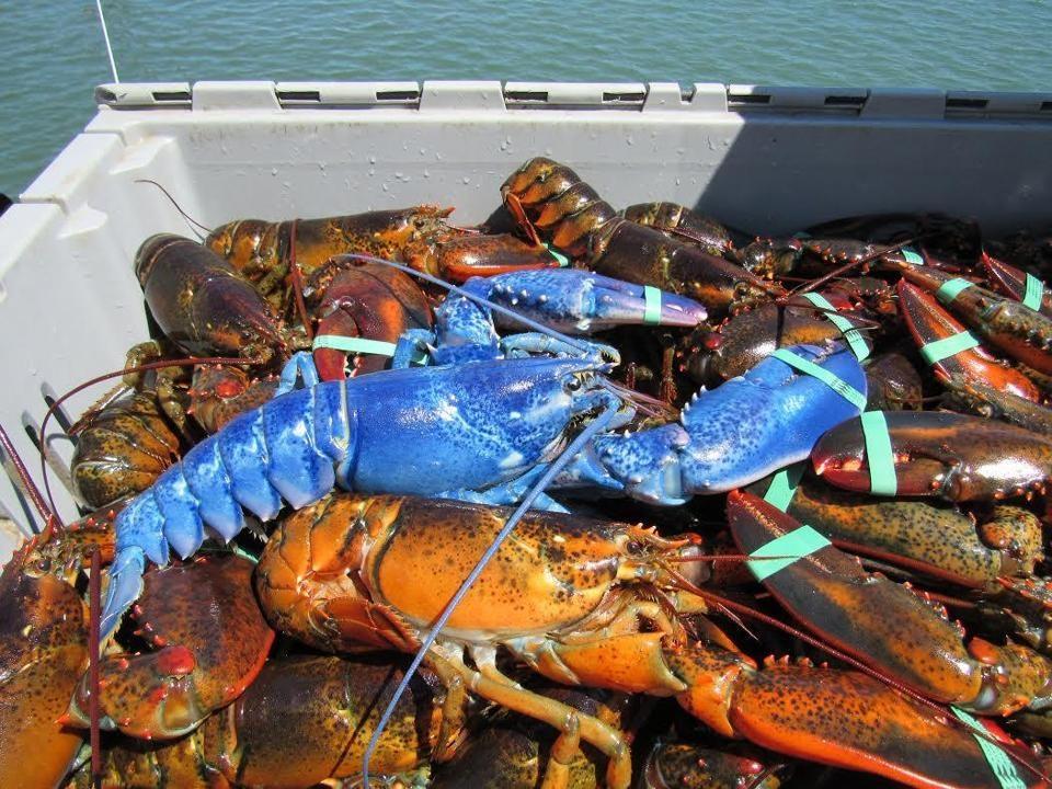 Cape Cod blue lobster: Fisherman Wayne Nickerson reels in ...