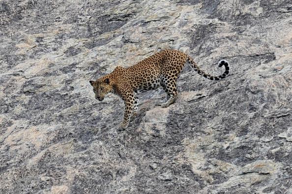 leopard population decline
