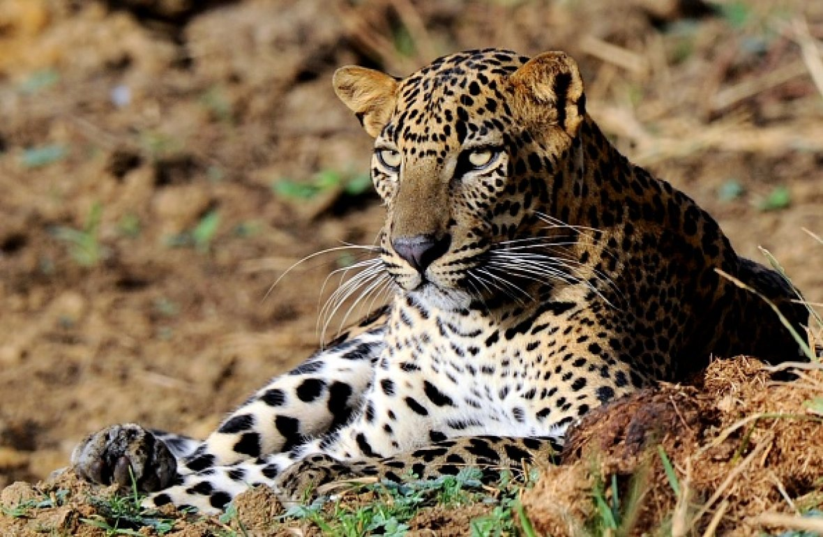 leopard population decline