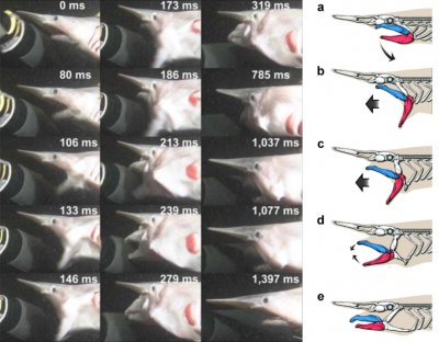 Goblin sharks: Mystery behind bizarre protruding jaws solved