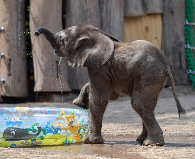 tamika the elephant plays in a pool