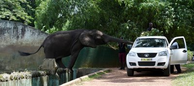 Elephants reaches for food in Abidjan