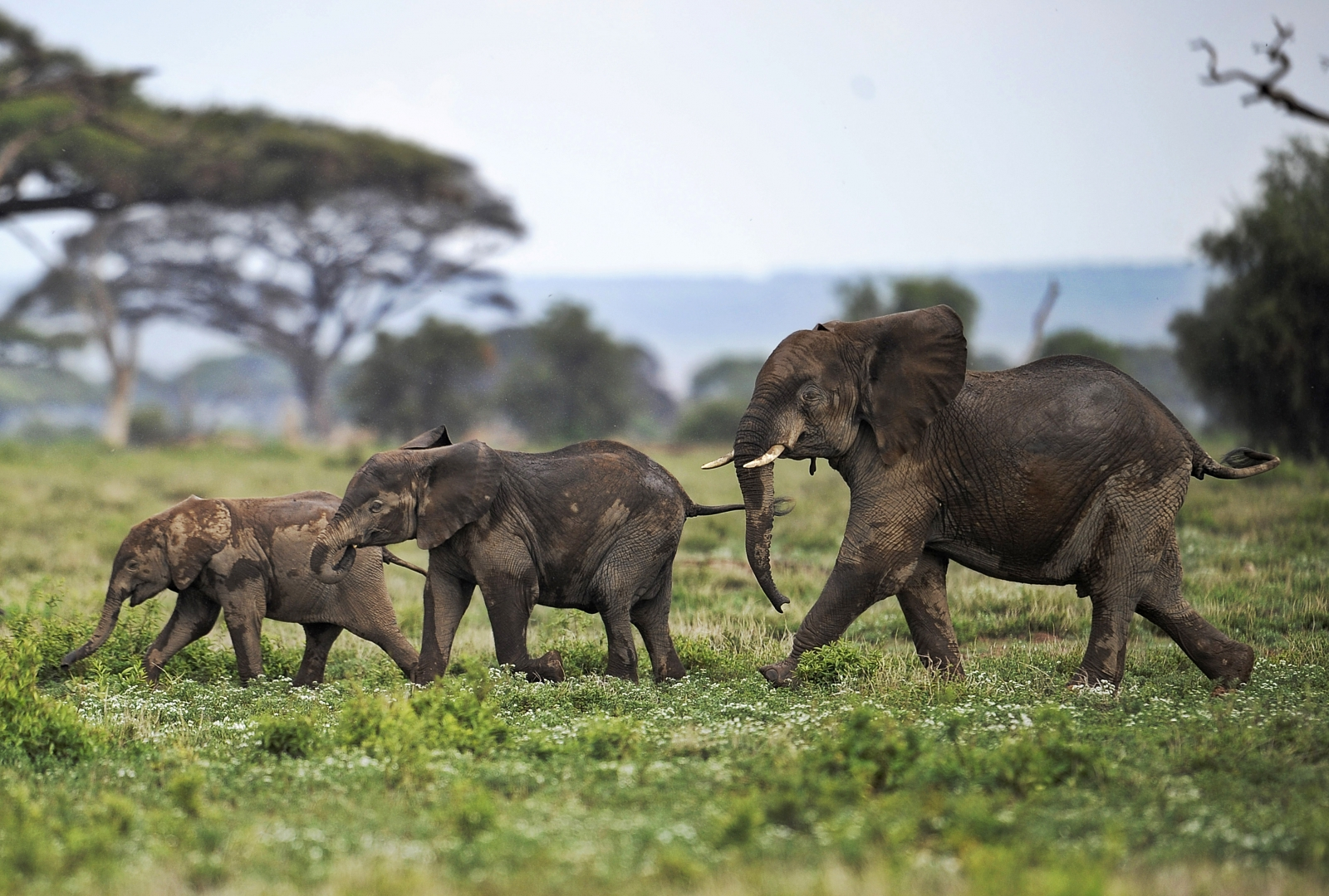 Elephant calves play at Amboseli