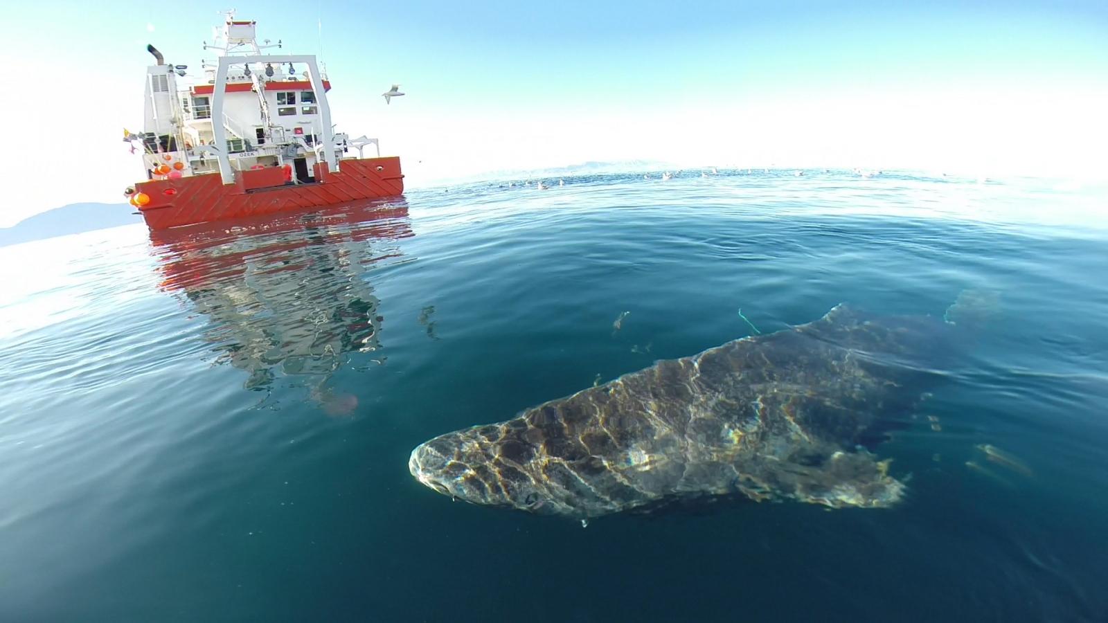 Greenland shark