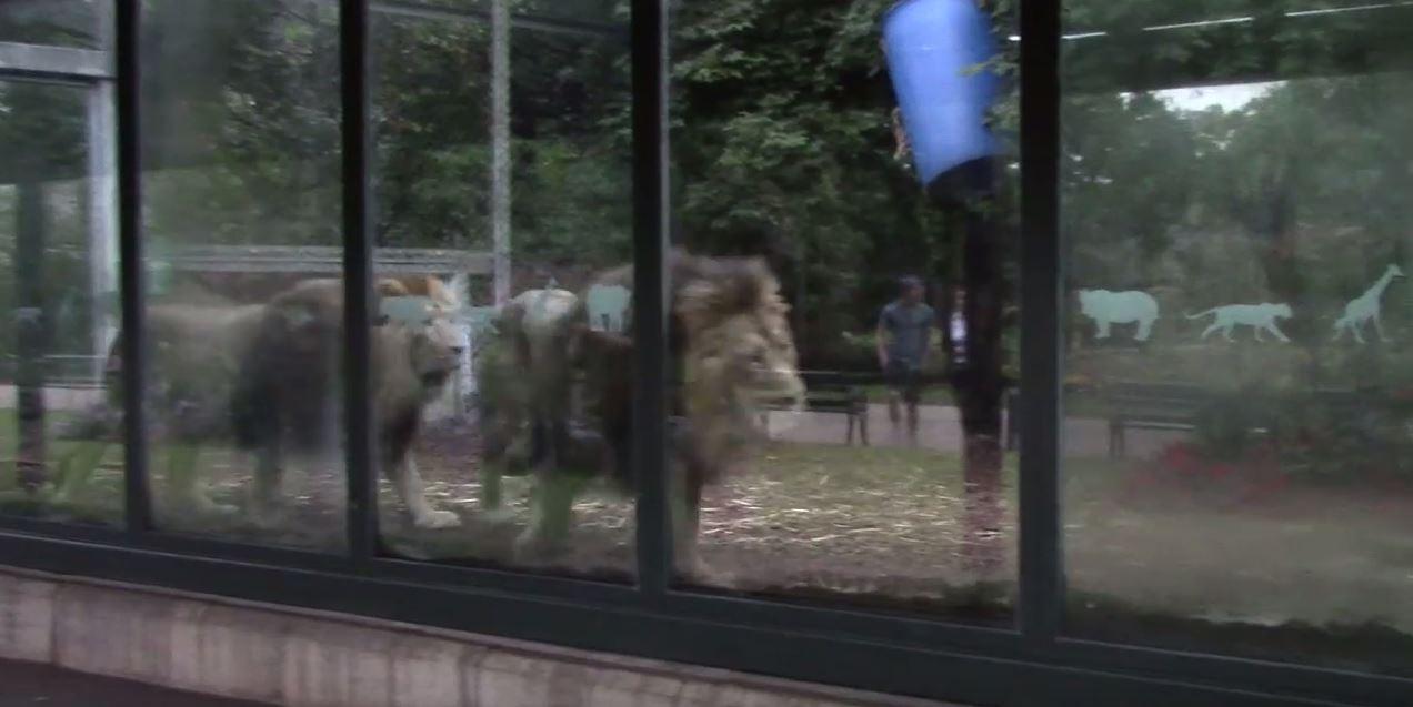 Screenshot of lions pacing at Bristol Zoo