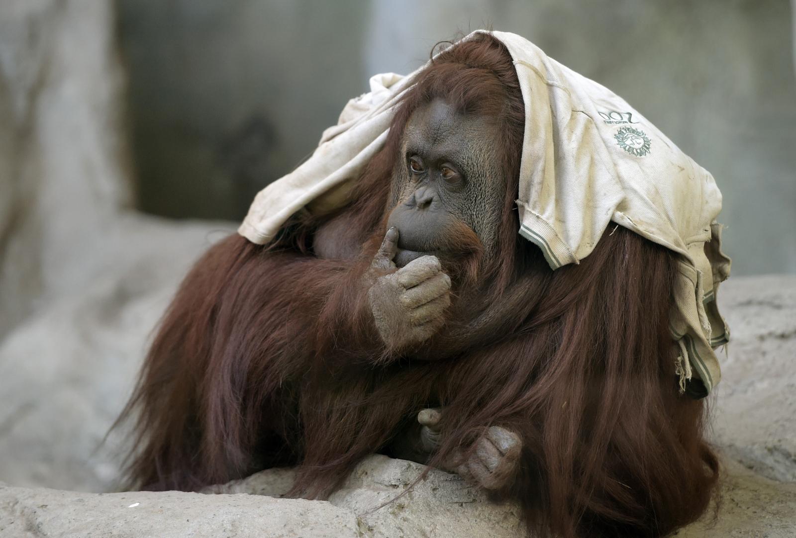 An orangutan at Buenos Aires' zoo