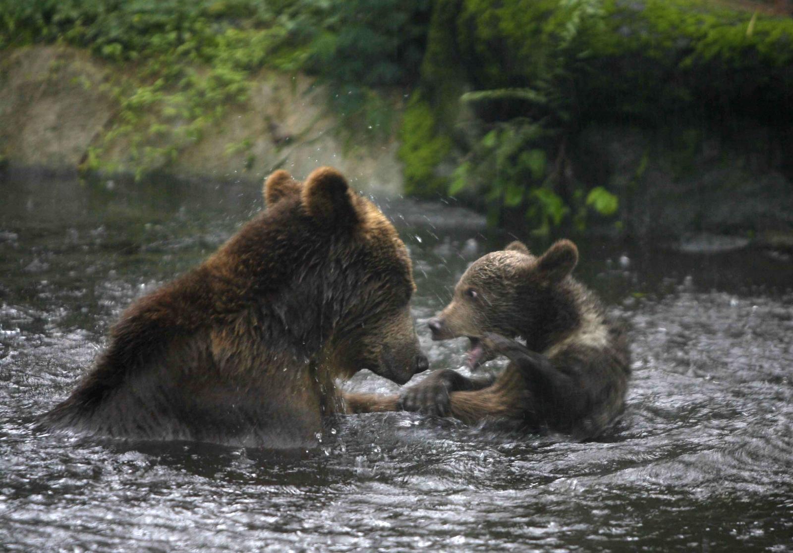 Alaskan brown bear plays with cub