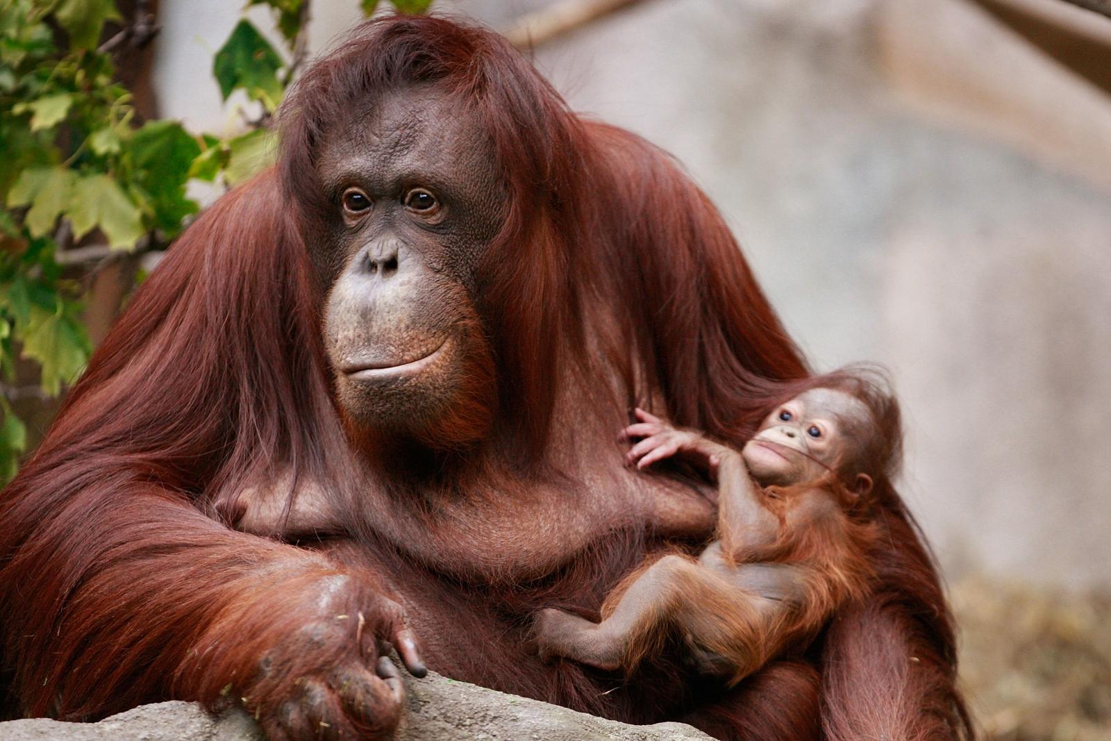 Borean orangutans
