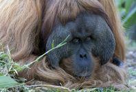 Kluet the Sumatran oragutan