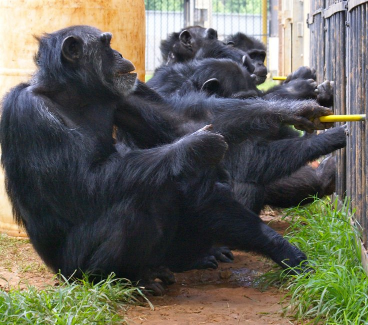 chimpanzee cooperation